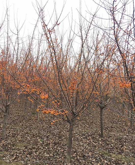 陜西印第安魔力海棠價格表 濟寧市任城區禾盛苗木種植供應