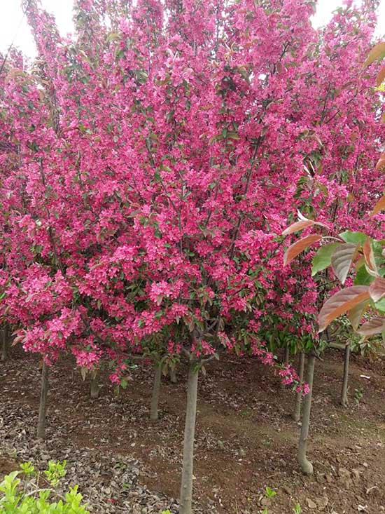 浙江6公分印第安魔力海棠 济宁市任城区禾盛苗木种植供应
