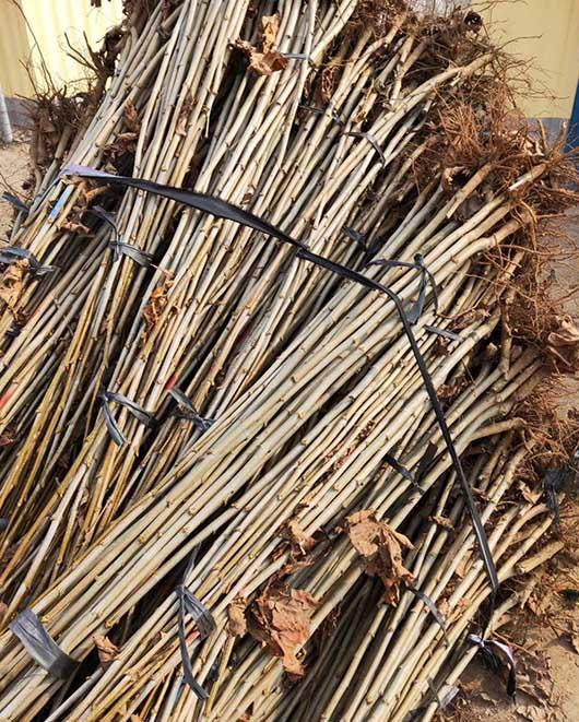 山东法桐小苗绿化用树 济宁市任城区禾盛苗木种植供应