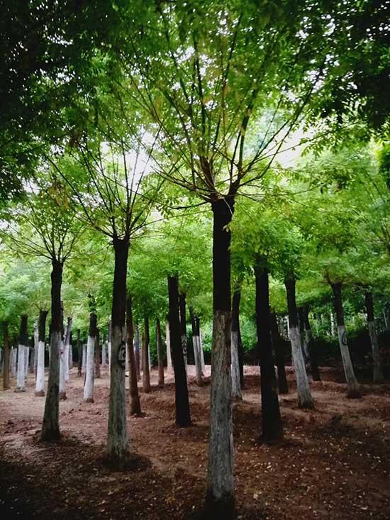 湖南金枝槐 济宁市任城区禾盛苗木种植供应