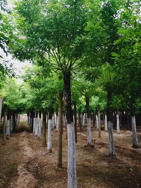 云南13公分金枝槐 濟寧市任城區禾盛苗木種植供應