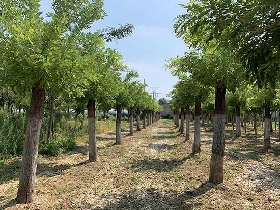 甘肃15-18公分黄金槐 济宁市任城区禾盛苗木种植供应