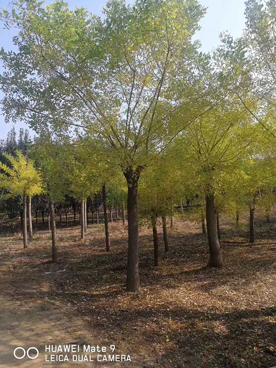 重庆1-2年冠黄金槐 济宁市任城区禾盛苗木种植供应