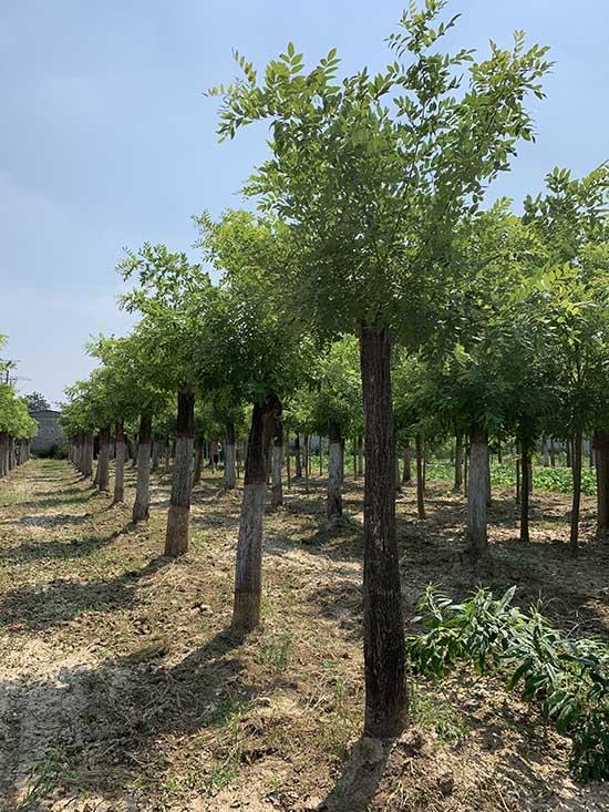 海南15-18公分黄金槐 济宁市任城区禾盛苗木种植供应