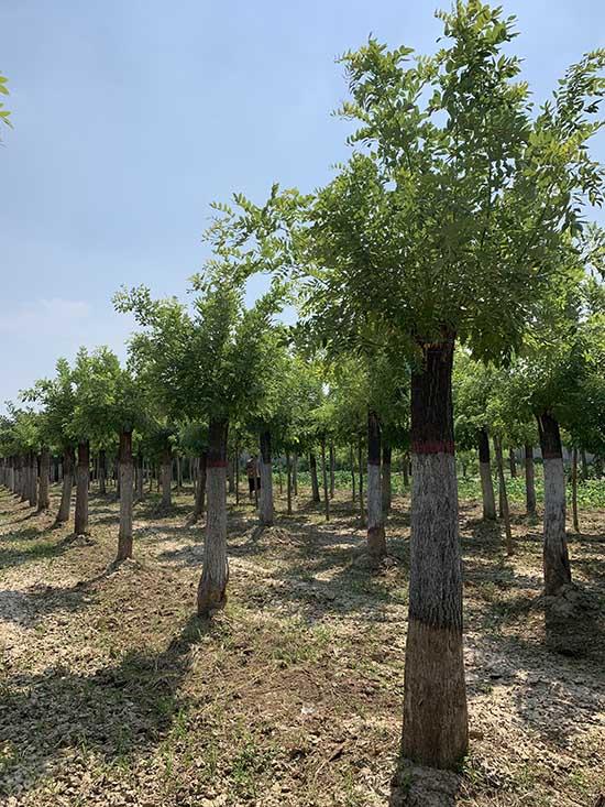 陕西21公分黄金槐 济宁市任城区禾盛苗木种植供应