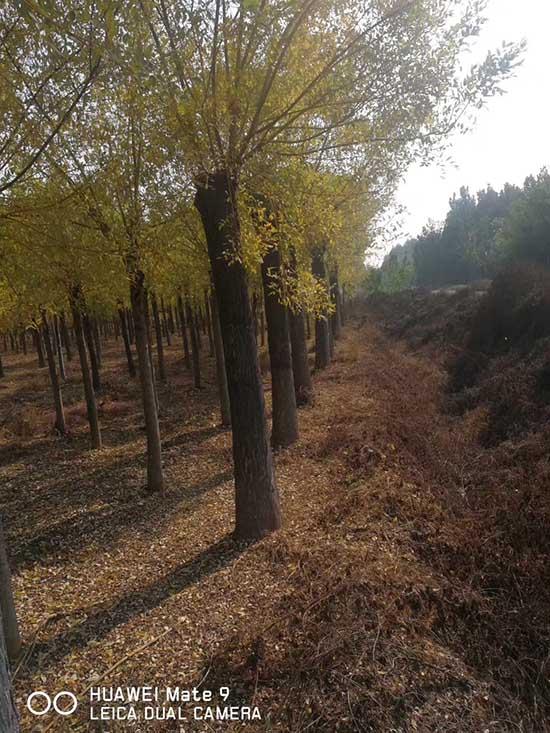 陕西15公分黄金槐 济宁市任城区禾盛苗木种植供应
