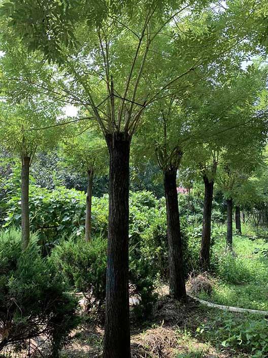 湖南25公分黄金槐 济宁市任城区禾盛苗木种植供应
