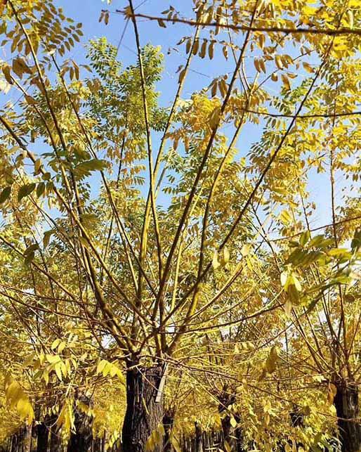 重庆8公分金枝槐 济宁市任城区禾盛苗木种植供应