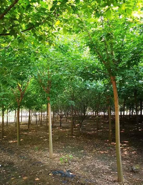 四川金叶复叶槭报价 济宁市任城区禾盛苗木种植供应