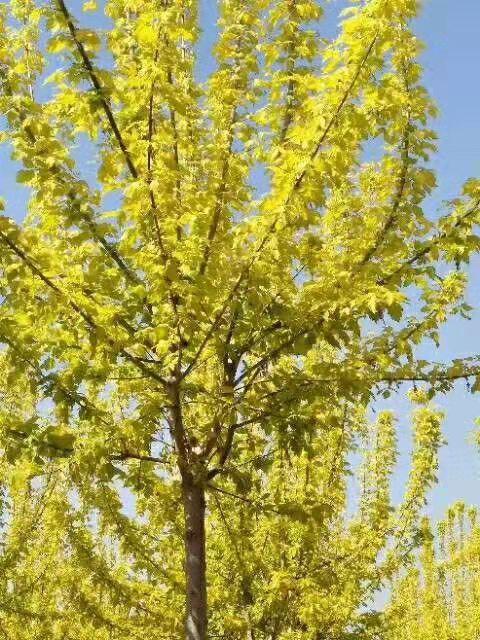 山西3公分金叶复叶槭 济宁市任城区禾盛苗木种植供应