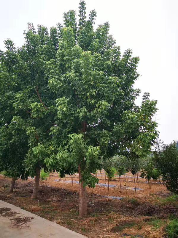 金葉復葉槭誠信經營 濟寧市任城區禾盛苗木種植供應