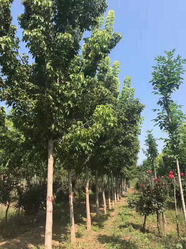 贵州金叶复叶槭图片 济宁市任城区禾盛苗木种植供应