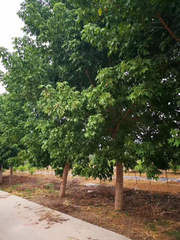 山东金叶复叶槭苗圃直销 济宁市任城区禾盛苗木种植供应