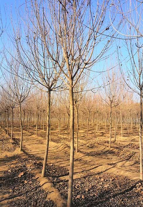 新疆元寶楓基地 濟寧市任城區禾盛苗木種植供應