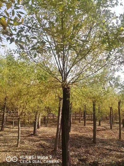 四川9公分黄金槐 济宁市任城区禾盛苗木种植供应