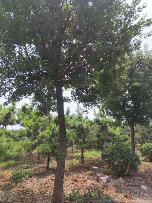 新疆五角枫苗圃五角枫 济宁市任城区禾盛苗木种植供应
