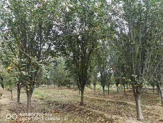浙江18公分西府海棠 济宁市任城区禾盛苗木种植供应
