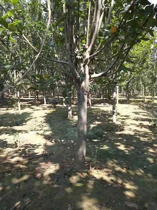 北京西府海棠量大從優 濟寧市任城區禾盛苗木種植供應