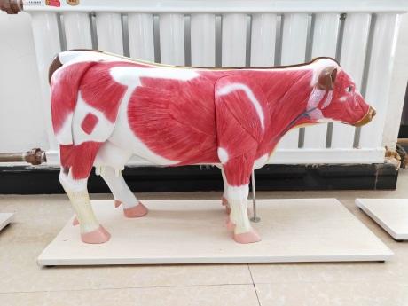 甘肃动物模型厂家价格「新乡市禾力教学设备供应」