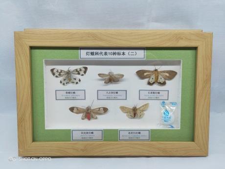 河北蛾类标本价格,蛾类标本
