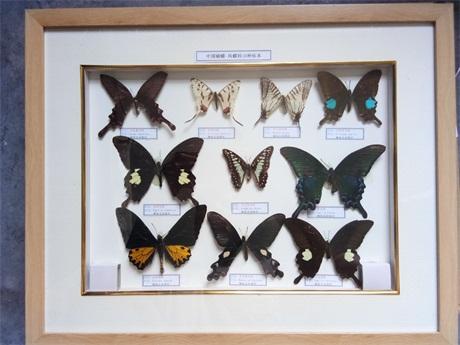 湖南蝴蝶标本哪家好,蝴蝶标本