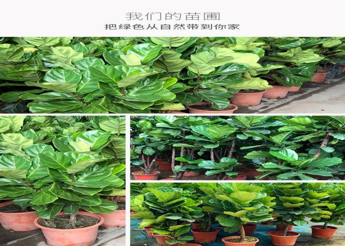 深圳琴葉榕值得信賴 服務為先「深圳市綠園軒園林花卉供應」