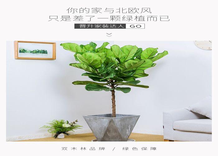 罗湖区质量琴叶榕价格 服务为先「深圳市绿园轩园林花卉供应」