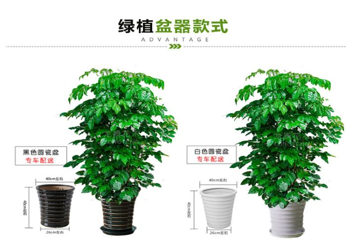 盐田区销售幸福树优质商家 诚信互利「深圳市绿园轩园林花卉供应」