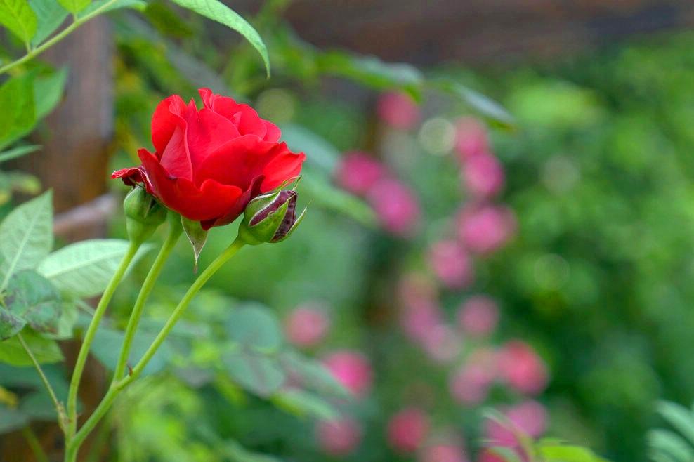 中卫新鲜玫瑰,玫瑰