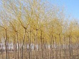 商丘优质垂柳树苗哪里有卖,垂柳