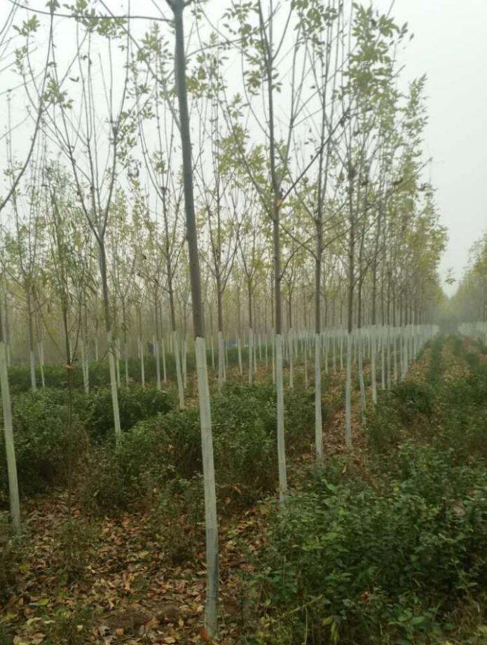 三门峡优良白蜡多少钱「长垣县华夏园林绿化供应」