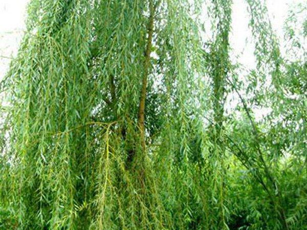 焦作速生垂柳树苗哪里有「长垣县华夏园林绿化供应」