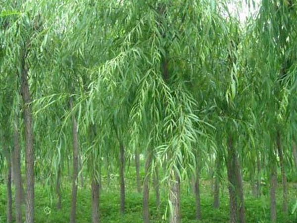 青皮垂柳树苗供应「长垣县华夏园林绿化供应」