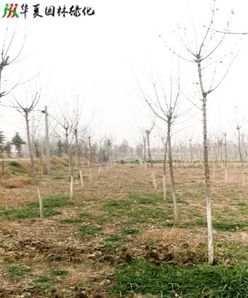 济源金叶复叶槭树苗哪里有卖,金叶复叶槭