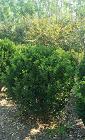 西宁优良大叶黄杨球怎么种植,大叶黄杨球