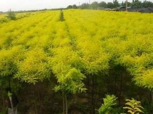 平安正規金葉榆怎么種植 創造輝煌「青海乾灃農林牧科技供應」