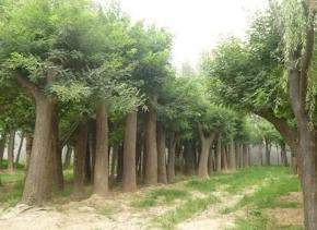 平安专业绿化苗木值得信赖 服务至上「青海乾沣农林牧科技供应」