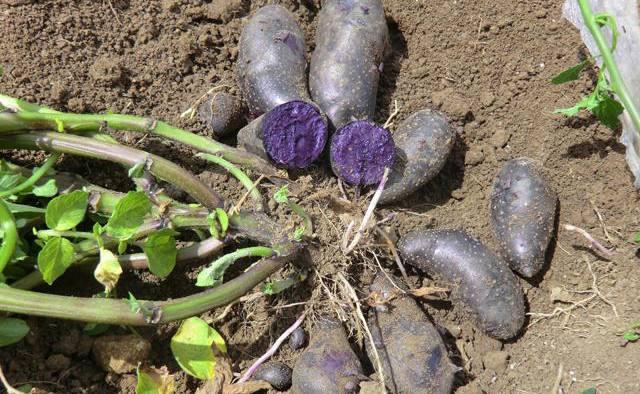 塔城彩色土豆,土豆