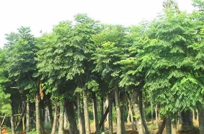 云南栾树品种,栾树