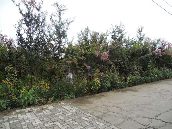 野生紫薇树芽「如皋市立新花木供应」