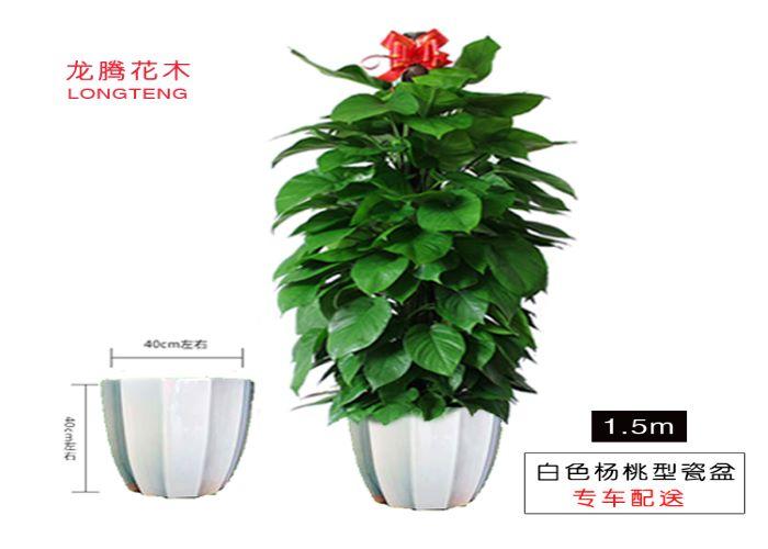 罗湖区职业绿萝柱价格 欢迎来电「深圳市绿园轩园林花卉供应」