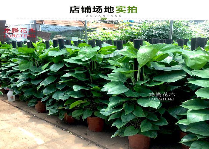 罗湖区绿萝柱要多少钱 有口皆碑「深圳市绿园轩园林花卉供应」