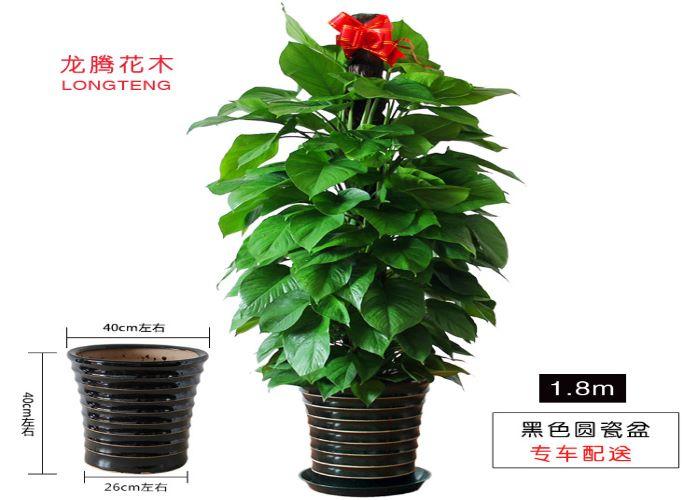 盐田区专业绿萝柱性价比出众 诚信互利「深圳市绿园轩园林花卉供应」