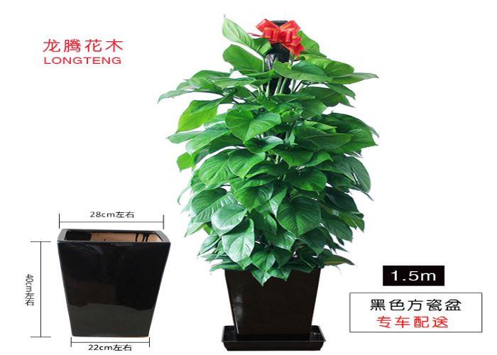 廣東質量綠蘿柱報價 創新服務「深圳市綠園軒園林花卉供應」