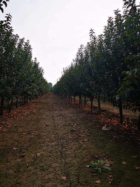 天津印第安魔力海棠基地 济宁市任城区禾盛苗木种植供应