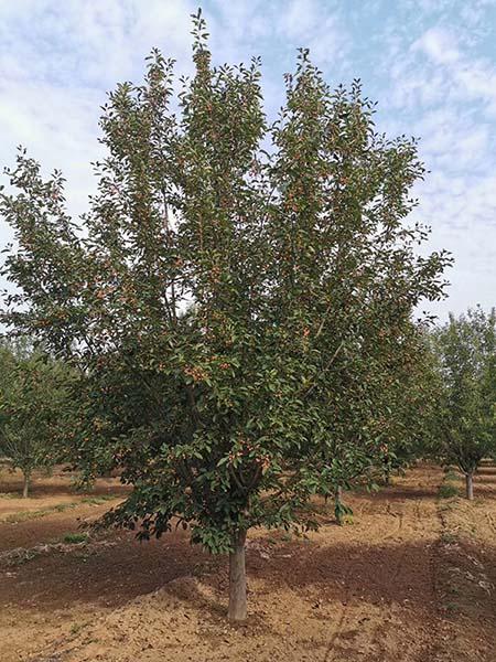 甘肃13公分绚丽海棠 济宁市任城区禾盛苗木种植供应