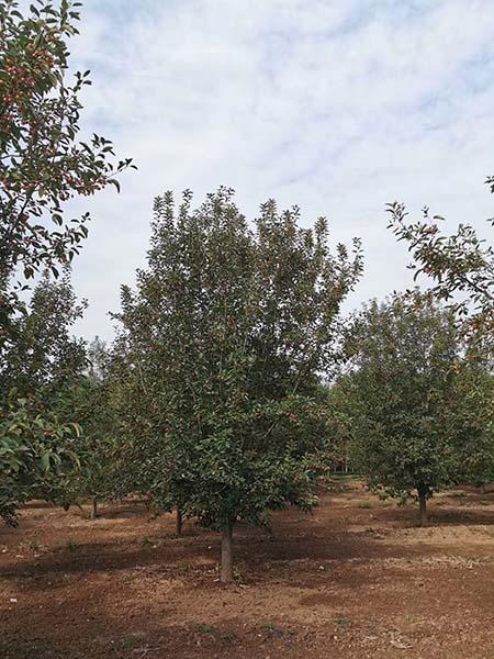 山西13公分绚丽海棠 济宁市任城区禾盛苗木种植供应