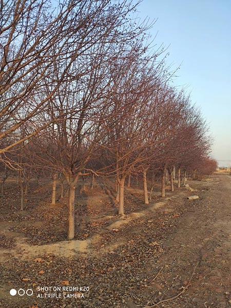 新疆2公分印第安魔力海棠 济宁市任城区禾盛苗木种植供应