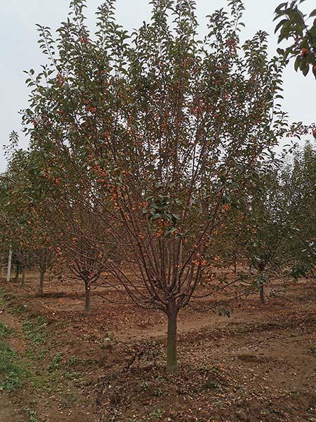 宁夏10公分亚当海棠 济宁市任城区禾盛苗木种植供应