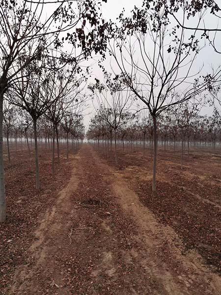 山东11公分北京栾 济宁市任城区禾盛苗木种植供应